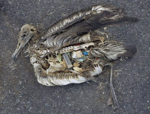 A dead albatross, with plastic items in its stomach.