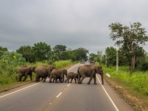 Elephants crossing a highway in Sri Lanka, an island country near India.