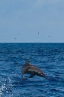 A spinner dolphin jumps from the water.