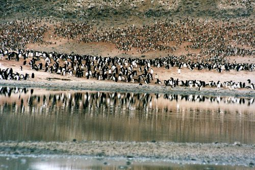 A large colony of penguins in Cape Adare, Antarctica