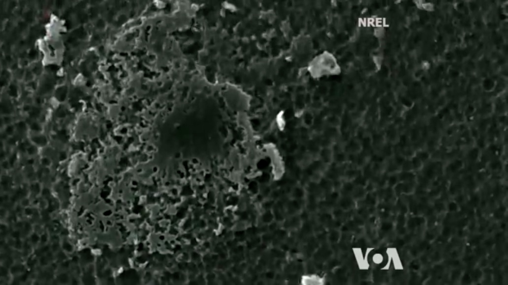 Under a microscope, scientists could see the bacteria (lighter area) eating the plastic.