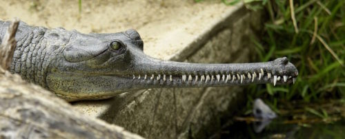 The Gharial is a crocodile with a thin snout, which it uses to catch fish.