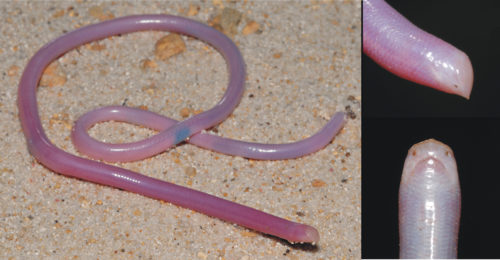 The Madagascar Blind Snake looks like an earthworm, but it isn't.