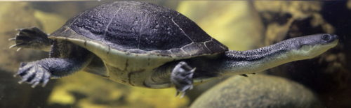 The Roti Island Snake-necked Turtle has a neck so long, it can't pull its head straight back into its shell.