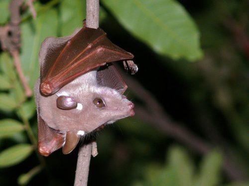 Peters's epauletted fruit bat