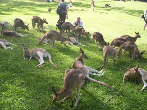 Tourists with Kangaroos
