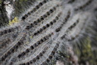 "Oak processionary moth caterpillars ""marching""."