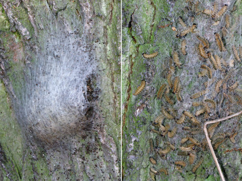 Oak processionary moth nest, early and late.