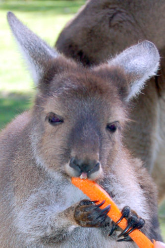 Joey (young kangaroo) holding a carrot.