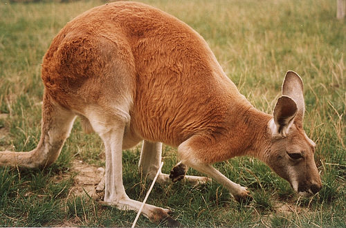 Kangaroo normally only eat grass.
