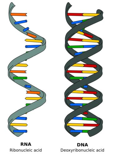 RNA and DNA