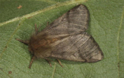 Oak processionary moth, adult