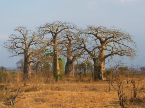 A group of baobab trees in the Mikumi National Park, Tanzania.