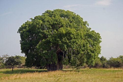 Baobab tree in Tanzania, 2011