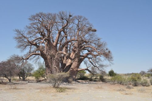 Chapman's baobab fell down in 2016.