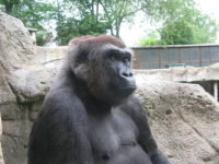 This gorilla is a western lowlands gorilla like Koko.