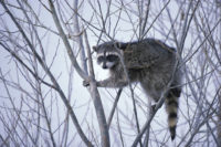 Raccoons are natural climbers, able to grab on to almost anything.