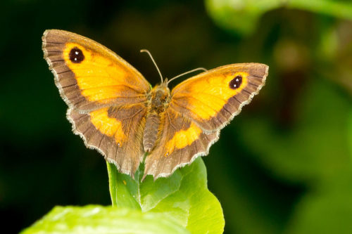 The Gatekeeper butterfly was the most common butterfly last year.