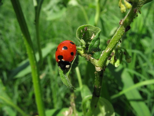 When the ladybugs heard loud music or even loud city sounds, they didn't eat much.