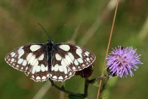 Marbled white butterfly numbers were down 67% last year.