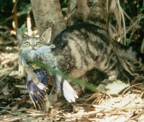 Feral cat with bird in its mouth.