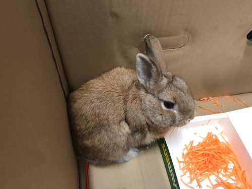 Small bunny in a box with grated carrots.