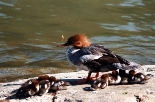 Mergansers usually have between eight and 12 babies.