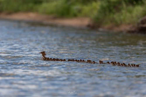Brent Cizek took this picture of the mother merganser and her ducklings.