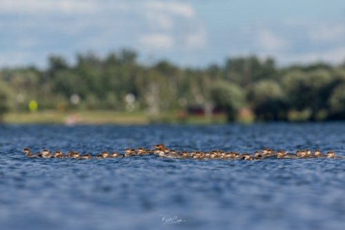 When Mr. Cizek went back to the lake later, he counted 76 ducklings.