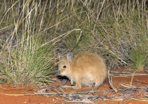 A mala or rufous hare wallaby.