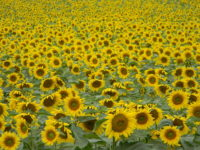 Sunflower farm in Canada