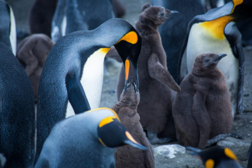 King Penguin feeding chick.