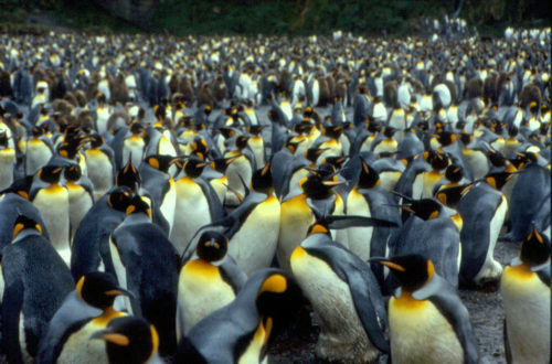 The Crozet islands are home to about half of all the King Penguins in the world.