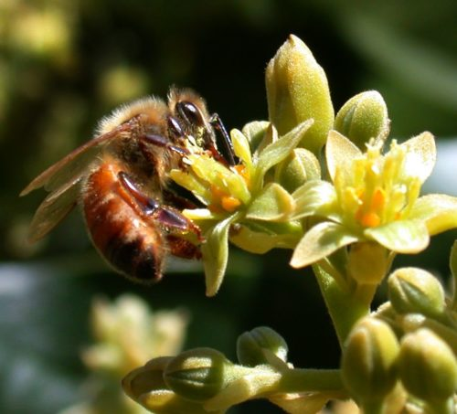 Bee pollinating an avocado flower.