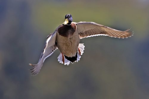 Male mallard in flight.