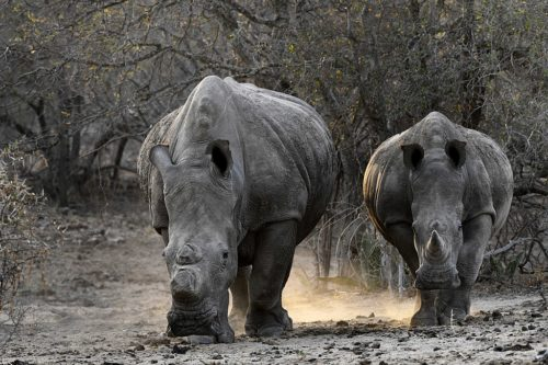 White rhinos, one with a cut horn.