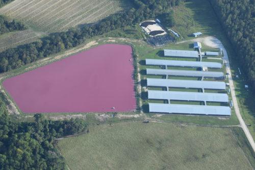 Pink lagoon of hog waste.