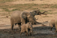 A group of African elephants gathered in some mud in a clearing.