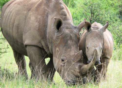 Rhino with its baby.