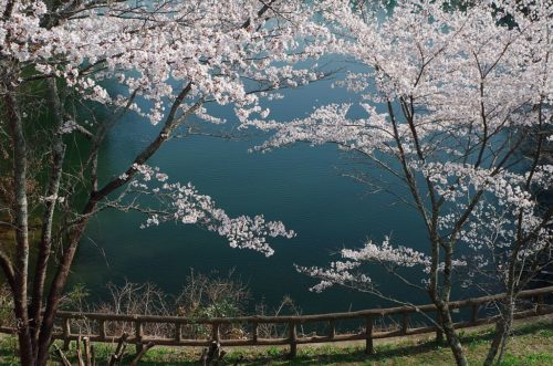 吉野運動公園にて Cherry trees in Yoshino Sports Park 2014.4.08