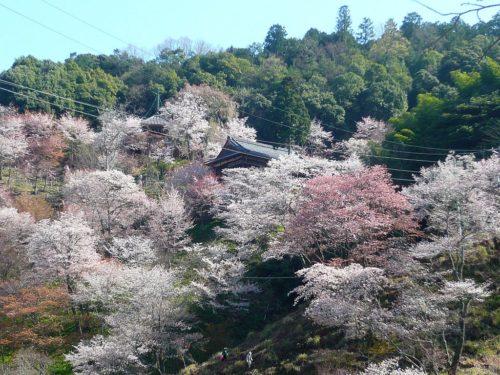 如意輪寺の桜 吉野町吉野山 Cherry trees of Nyoirinji 2010.4.08