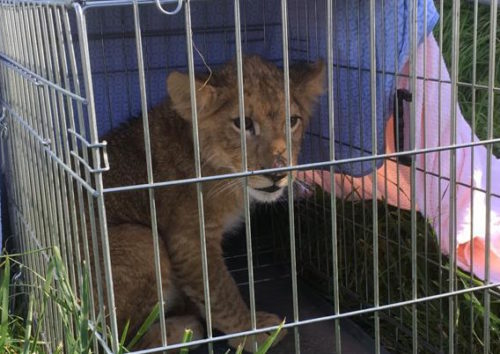 Lion cub in a small cage, with blanket on top.