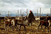 Reindeer herd with herder in Sweden.