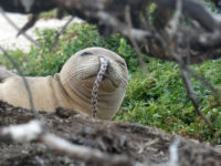 A juvenile Hawaiian monk seal was found with a spotted eel in its nose at French Frigate Shoals in the Northwestern Hawaiian Islands this past summer