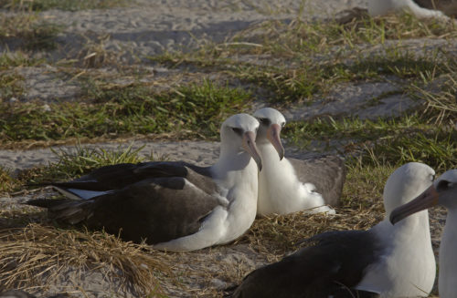 Mate (left) and Wisdom with egg_28NOV15 3 - Male and female Laysan albatross couples make approximately 48 hour shift changes while incubating and sheltering their egg. After the egg hatches they both continue sharing the responsibility of feeding and rearing their chick. Photo by: Dan Clark