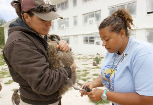USFWS Refuge biologist Meg DuhrSchultz and volunteer Aisha Rickli-Rahman banded Wisdom's chick with a permanent adult band on May 5, 2016. Wisdom is the world's oldest known bird in the wild at 65+ years old. She nests at Midway Atoll Refuge and Memorial each year. Her chick Kūkini hatched February 1, 2016.
