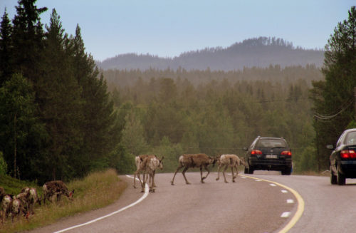 Rush hour traffic in Lapland. Reindeer are a common sight on the roads around Ruka & Kuusamo and often hold up the traffic as they saunter down the middle of it.