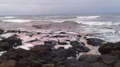 Pilot whales washed up on rocks on Chatham Islands.