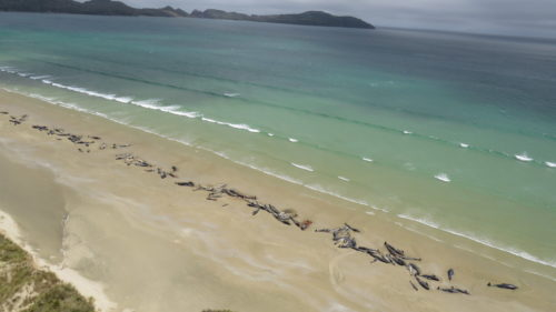 Mass beaching of 144 pilot whales on Rakiura/Stewart Island.