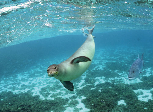Monk seal swimming underwater at Hawaiian and Pacific Islands National Wildlife Refuges